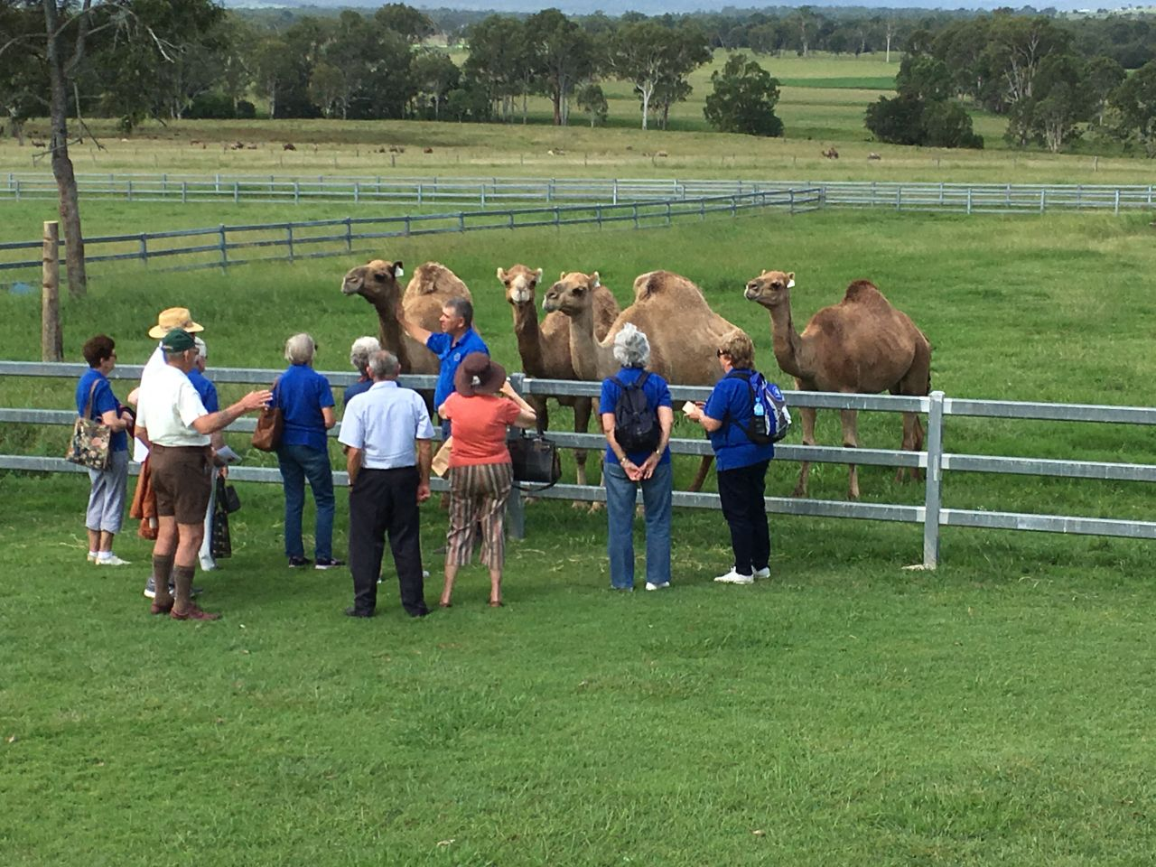 Talking with camels near Boonah
